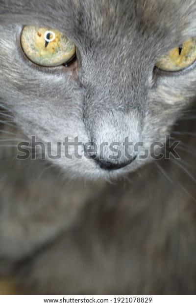 gray-cat-yellow-eues-macro-600w-19210788