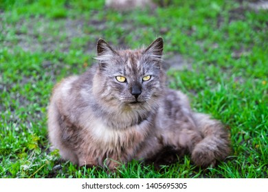 A gray cat with yellow eyes and a black nose lies on the grass and looks straight. Countryside in Ukraine.