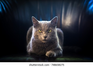 A gray cat with yellow eyes, front view, lying like a sphinx on an armchair with a black and blue background