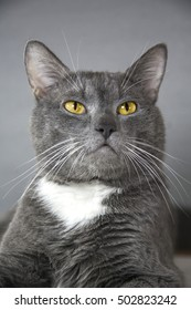 gray cat with yellow eyes on a gray background