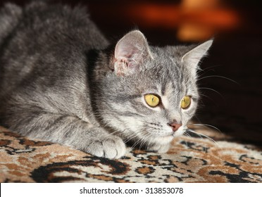 gray cat with yellow eyes plays, preparing to attack