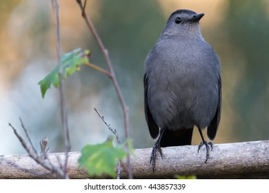 Gray Catbird in Corkscrew Sanctuary, Florida