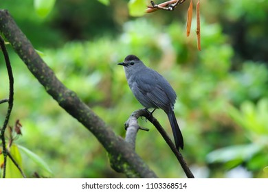 Gray Catbird (Dumetella carolinensis) on a branch with a green background.