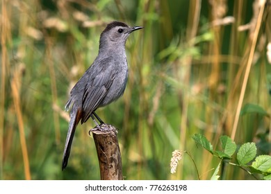 Gray Catbird Perched On Tree Stump