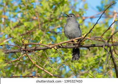 Gray Catbird singing from its perch on a vine. Also known as a Slate-coloured Mockingbird. Taylor Creek Park, Toronto, Ontario, Canada.