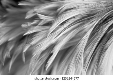 Gray chicken feathers in soft and blur style for background, black and white