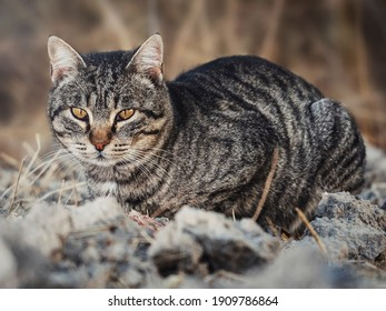 A gray colored cat resting on a dirt surface