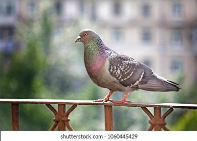 Gray colored pigeon sitting on handrail on blurred background in spring day in Moscow, Russia.