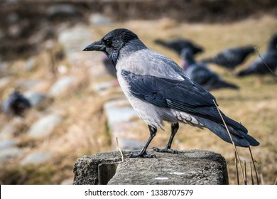 Gray crow stands on the ground in the park
