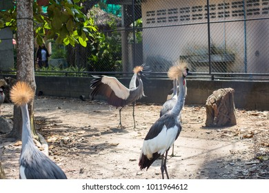 Gray crowned crane Balearica regulorum, Phuket Province Thailand