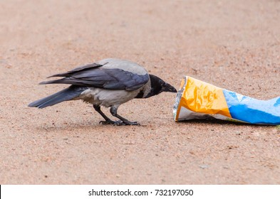 Gray crows take out a bag of garbage in search of food, and pollute the city