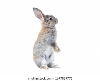 Gray cute rabbit standing on white background. Lovely action of young rabbit.