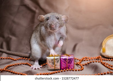 Gray cute rat agouti standard dumbo on brown background sits near New Year bag and present boxes, with shining, year 2020