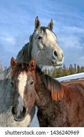 Gray dapple Arabian Mare and Foal together at winter pasture.