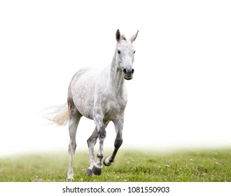 Gray dapple horse runs in field isolated with white background behind it