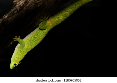 Gray day gecko Phelsuma