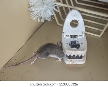Gray dead mouse trapped by mouse trap in kitchen cabinet