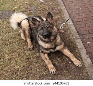 Gray dog sitting in collar and leash on background of green grass