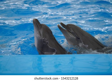 Gray dolphins swim in the pond