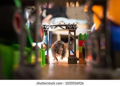 gray domestic rat pet runs among children's toys