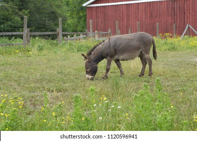 gray donkey eating grass jackass farm animal agriculture