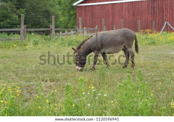 gray donkey eating grass jackass farm animal agriculture
