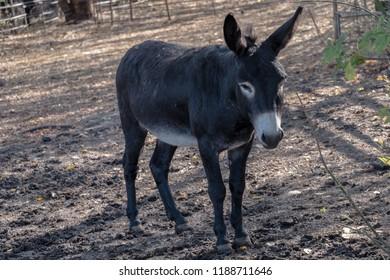 donkey with erection