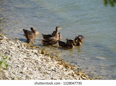 Gray ducks near the lake shore. Waterfowl