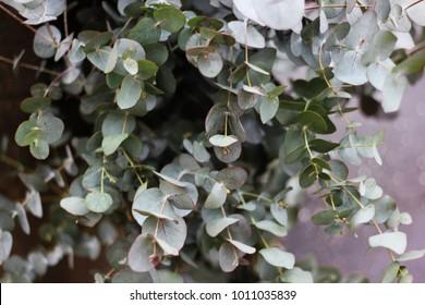 Gray Eucalyptus gunnii