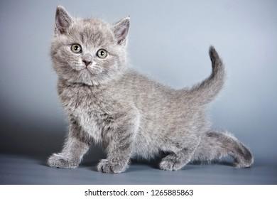 Gray fluffy british cat kitten on a gray background