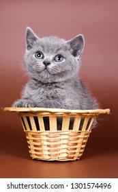 Gray fluffy british cat kitten on a brown background
