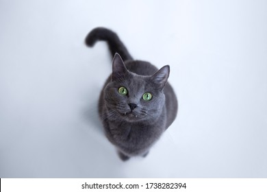 gray fluffy cat with green eyes sits on a white wooden floor and looks up