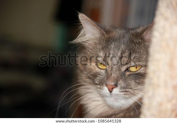 gray-fluffy-cat-look-askance-600w-108564