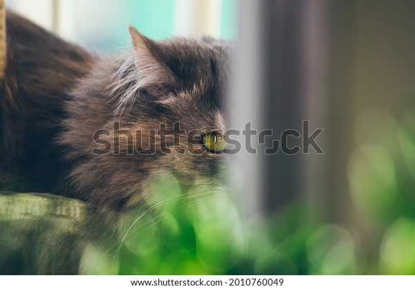 gray-fluffy-cat-spies-on-600w-2010760049