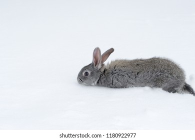 Gray fluffy rabbits on white winter snow