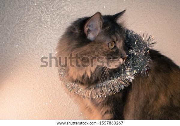 gray-fluffy-siberian-cat-christmas-600w-