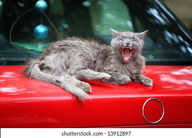 gray fluffy yawning cat on the  boot of the old red car