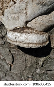 Gray fomes fomentarius (tinder fungus, false tinder fungus, hoof fungus, tinder conk, tinder polypore, ice man fungus) growing on chestnut trunk with rough bark background
