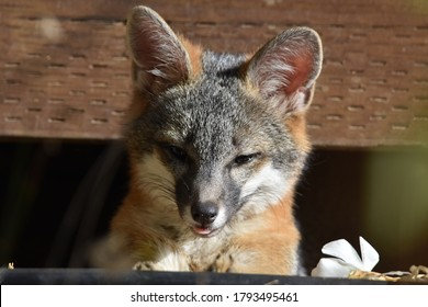 A gray fox kit emerging from it's den under a porch in Novato, CA.
