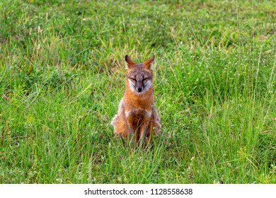 Gray fox (Urocyon cinereoargenteus) with bright orange coloring sitting with ears back in green grass field - Pembroke Pines, Florida, USA