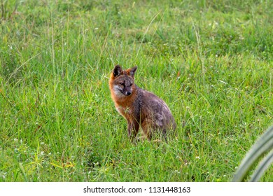 Gray fox (Urocyon cinereoargenteus) with bright orange coloring sitting in green grass field - Pembroke Pines, Florida, USA