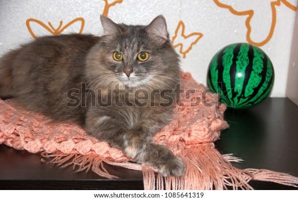 gray-furry-cat-crossed-legs-600w-1085641