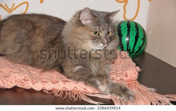 gray-furry-cat-crossed-legs-600w-1086439