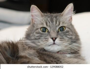 Gray furry siberian cat at home