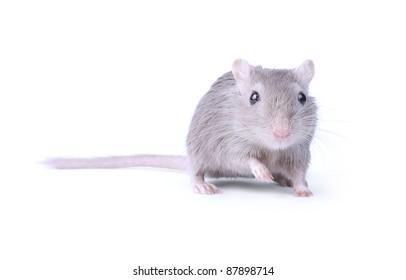 gray gerbil