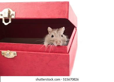 gray gerbil mouse hiding in a box (Meriones unguiculatus)