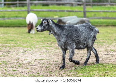 A gray goat is standing inside a petting zoo