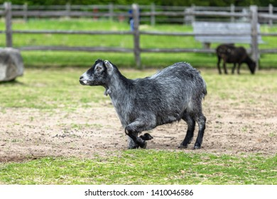 A gray goat is trying to get up from a resting position