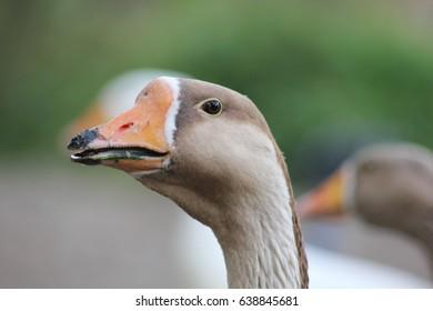 Gray goose along the river in belgium