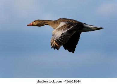 A gray goose flies past.